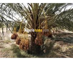 Vente Grand jardin de palmiers dattiers Biskra Tolga